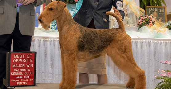CH Bajanaire Airerun Sound the Trumpet Airedale Terrier