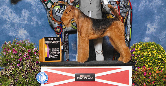 CH Bajanaire Niklaus The Original Airedale Terrier